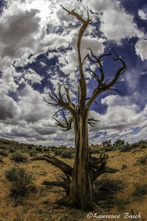 Dreamland Safari Tours : Iconic deadwood tree at the beginning of the hike into Coyote Buttes South.