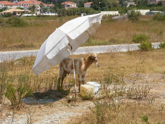 Stani Taverna : A goat outside the Taverna with his/hers own shade.