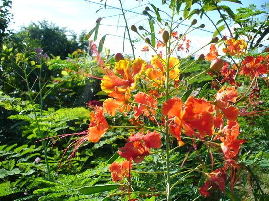 Farley Hill National Park: Pride Of Barbados National Flower
