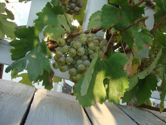Pyrgos Restaurant: grapes in entranceway