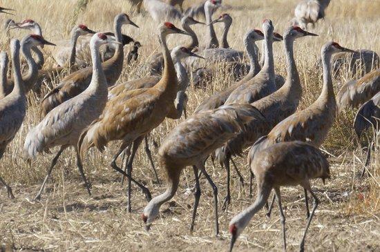 Creamer's Field Migratory Waterfowl Refuge : Grazing birds