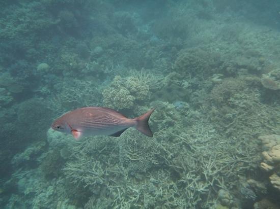Agincourt Reef: reef fish