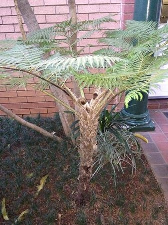 Courtyard Hotel Rosebank: tree fern