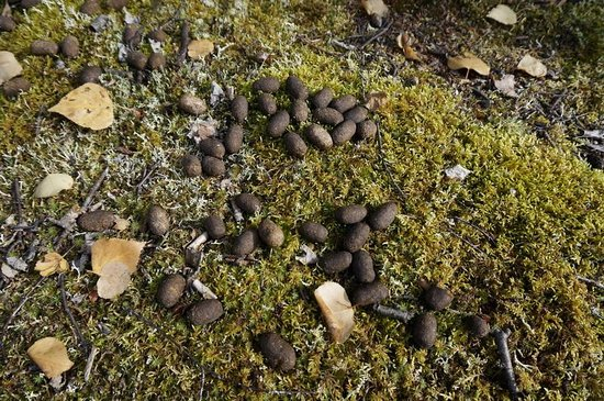 Chena River State Recreation Area: Moose poop!