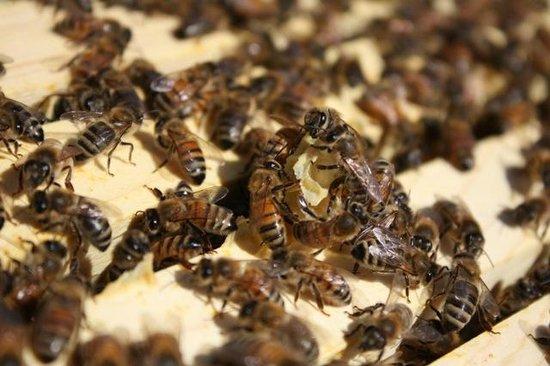Carmel Valley Ranch: Bees