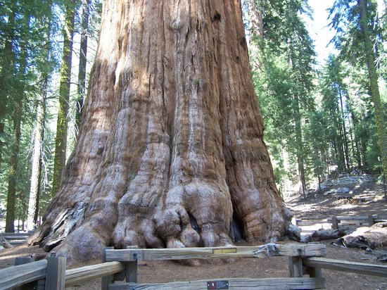 Rio Sierra Riverhouse: The Giant Sequoia are not to be Missed !!
