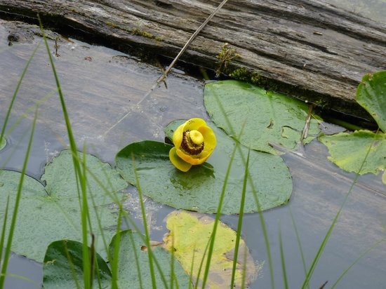 Lost Lake: A water lily.