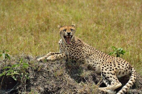 Mara Bushtops: Cheetah
