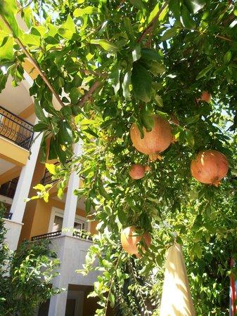 Eden Garden Apartments: Pomegranites growing on Eden Garden trees