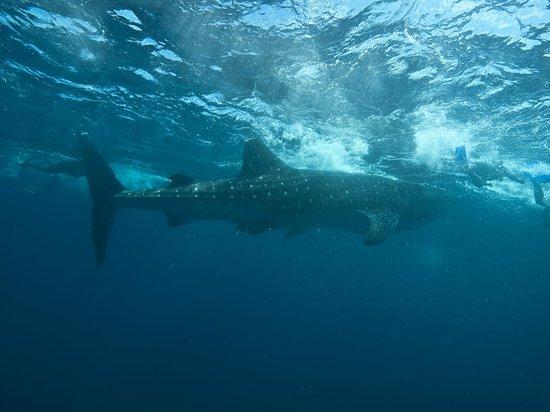 Playa Diving Center: Tiburón ballena: experiencia única, indescriptible