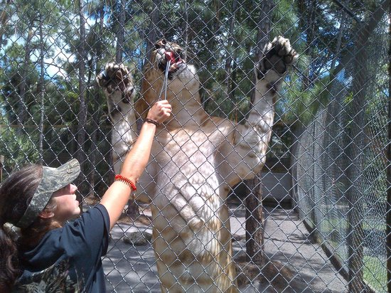Mccarthy S Wildlife Sanctuary Liger