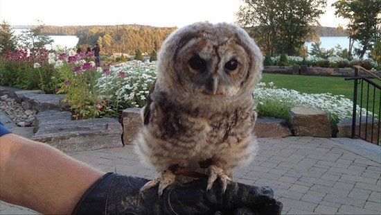 JW Marriott The Rosseau Muskoka Resort & Spa: Owl Rescue at JW Marriott
