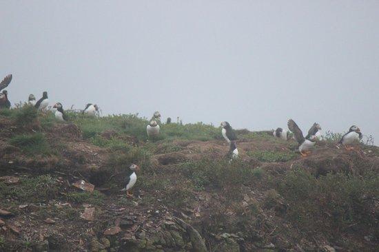 Bird Island Inn B&B: PUFFINS!
