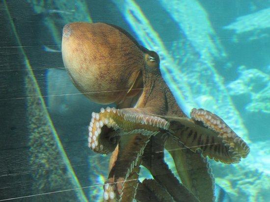 Le Meridien Bora Bora: Octopus in the resort lagoon