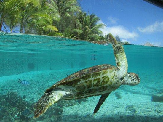 Le Meridien Bora Bora: Turtle sanctuary which was unbelievable