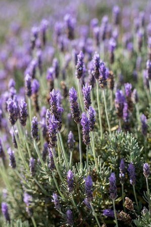 Lavender Hill: The lovely lavender