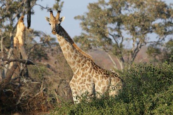 Imbabala Zambezi Safari Lodge: Giraffe