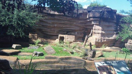 Riverbanks Zoo and Botanical Garden: lion!