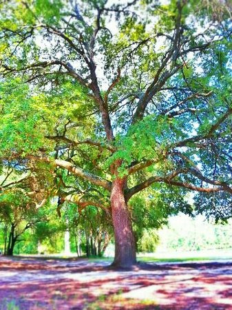 Sesquicentennial State Park: great tree