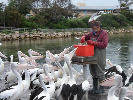 Pelican Feeding: I pellicani e il pescatore...