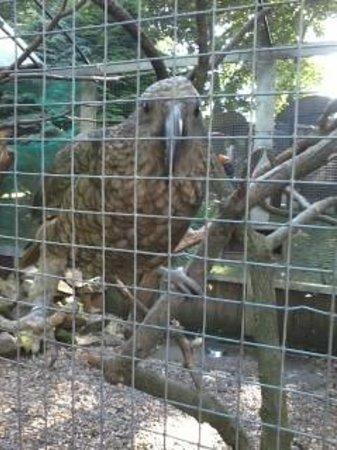 Tropical Birdland: Kea from New Zealand