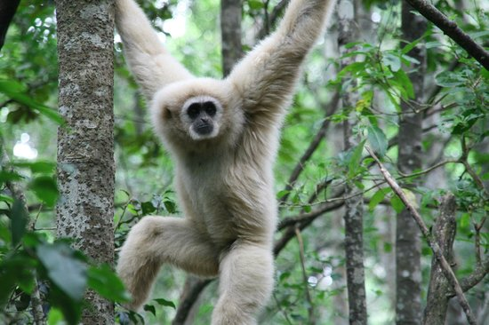 Monkeyland Primate Sanctuary: White Handed Lar Gibbon