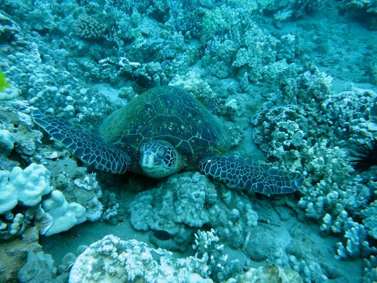 Blue Soul Maui: Sea Turtle