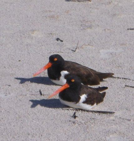 Mariner Boathouse Beach Resort: Oystercatchers