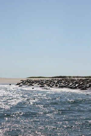 Monomoy Island Excursions: seals