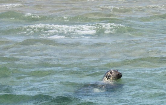 Monomoy Island Excursions: seal