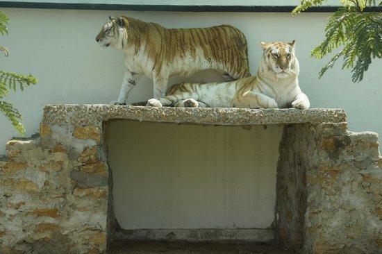 Golden Tabby Tiger at Safari Park
