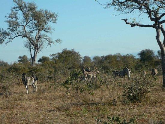 Mohlabetsi Safari Lodge: Safari - Zebras