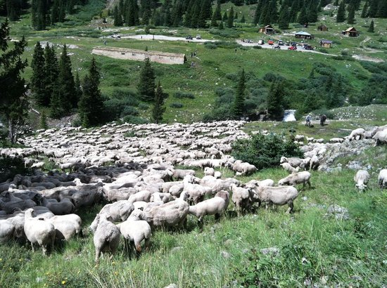 The Inn at the Lake: Herd of sheep