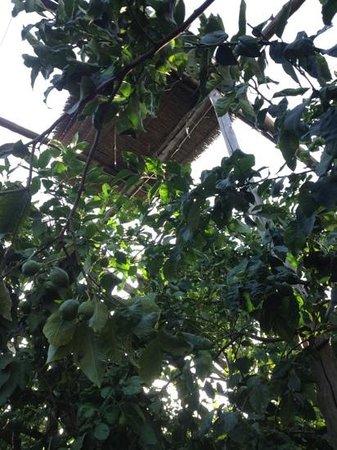 """Agriturismo """"Il Giardino di Vigliano"""": limoni"""