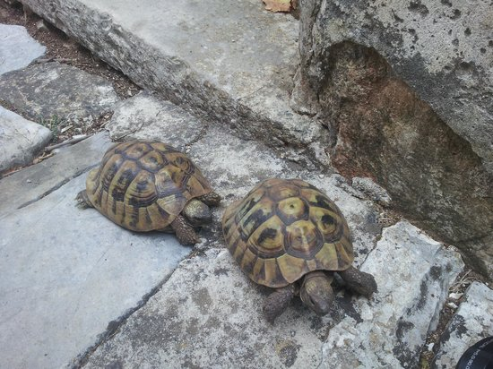 Ágios Ilías, Yunani: Resident Tortoises