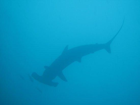 Darwin & Wolf Islands: silhouette of hammerhead
