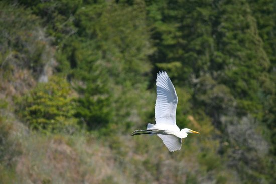 Klamath River Jet Boat Tours: white crane in flight