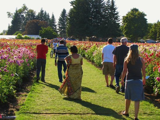 Rows Upon Rows Upon Rows Of Different Dahlias Picture Of Swan