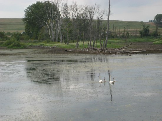 Hurstville Interpretive Center, trumpet swans