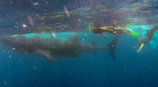 Isla Mujeres Whale Shark Tours by Searious Diving: Whale shark