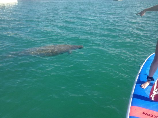 Friendly Manatee At Stump P Beach State Park Picture Of Sup