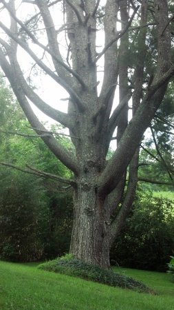 Henson Cove Place B&B: Massive tree in the front yard