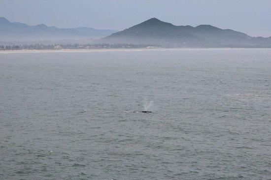 Quinta do Bucanero Hotel de Charme: Baleia vista na Praia do Rosa