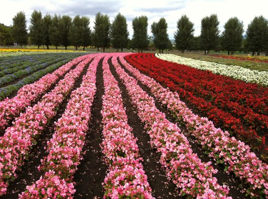 Flower Beds Of Different Flowers Picture Of Farm Tomita Lavender