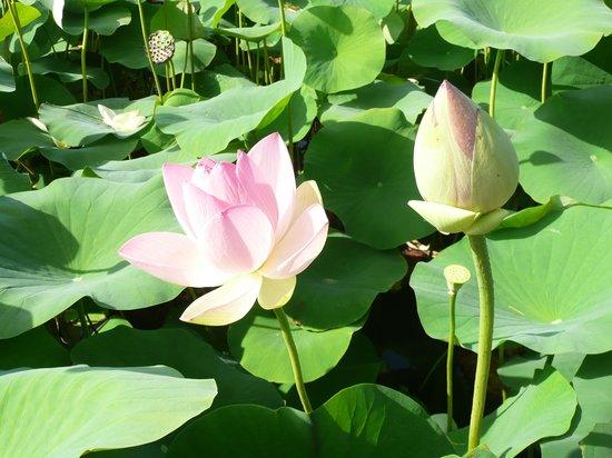 Parc Floral et Tropical de la Court d'Aron: le lac aux lotus