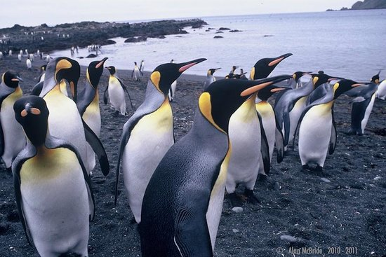 Tasmânia, Austrália: Curious one... King Penguins Macquarie Island with Heritage Expeditions