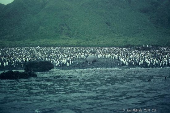 Tasmania, Australia: Southern Elephant Seal taking his spot amongst King Peguins Macquarie Island with Heritage Exped