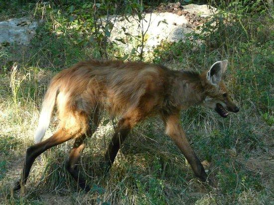 Reserve Zoologique de Calviac : Loup à crinière