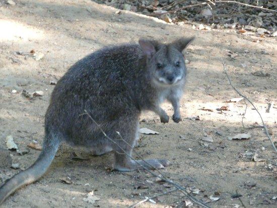 Reserve Zoologique de Calviac : Wallaby de Parma