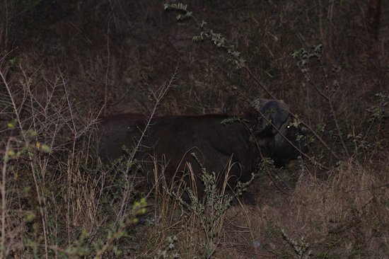 Ngwenya Lodge: Buffalo within touching distance of our lodge